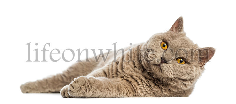 Selkirk Rex lying and looking up against white background