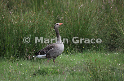 Greylag Goose (Anser anser) in a rushy damp meadow, Kincraig, Inverness-shire, Scotland