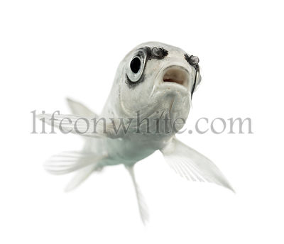 bottom view of a  grey Koi isolated on white