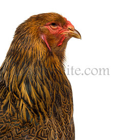Close-up of a side of Brahma chicken isolated on white