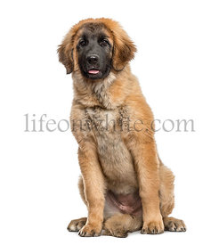 Leonberger puppy sitting, 4 months old, isolated on white