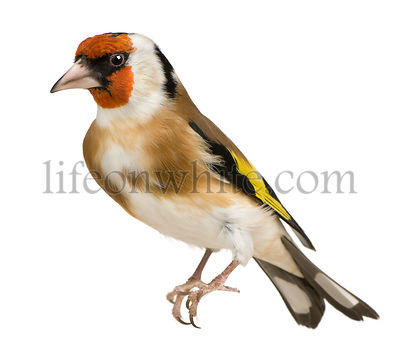 European Goldfinch, Carduelis carduelis, perched in front of white background
