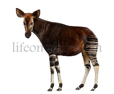 Side view of an Okapi standing, looking at the camera, Okapia johnstoni, isolated on white