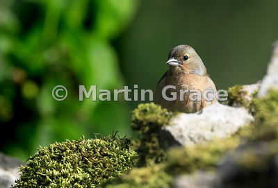 Female Chaffinch (Fringilla coelebs) on old, moss-covered limestone wall, Lake District National Park, Cumbria