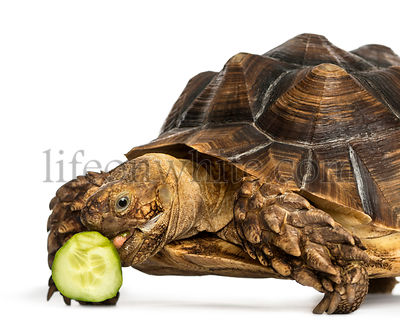 Close-up of an African Spurred Tortoise eating a bit of cucumber, Geochelone sulcata, isolated on white