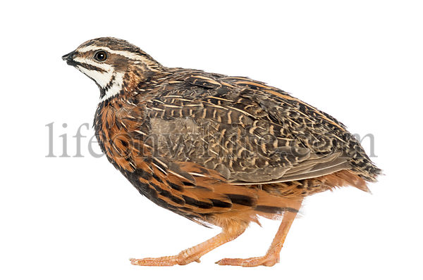 Female Harlequin Quail, Coturnix delegorguei, with its beak broken against white background