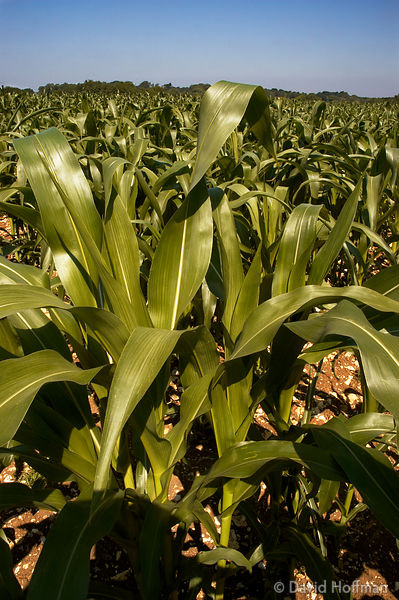 Maize growing on farmland in Kent.