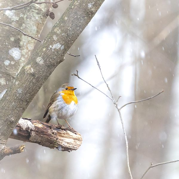 Robin im Winter