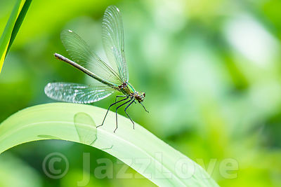 Banded demoiselle, Calopteryx splendens, landing on leaf.