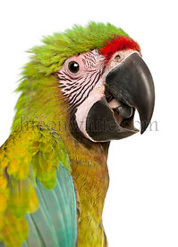 Great Green Macaw, Ara ambiguus, 5 months old, in front of white background