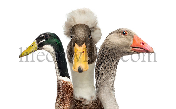 Close-up of Ducks and Goose, isolated on white