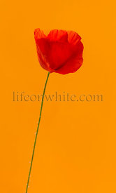 Poppy in front of an orange background