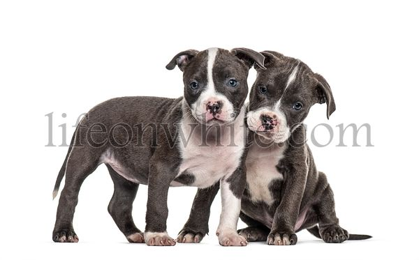 Two Young puppies American Bully isolated on white