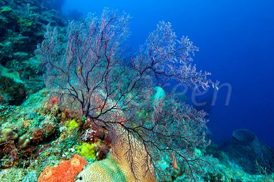 Coral reef diving Saint Lucia