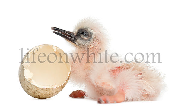 Madagascar Ibis with hatched egg, Lophotibis cristata, also known as the Madagascar Crested Ibis, White, winged Ibis or Crest...