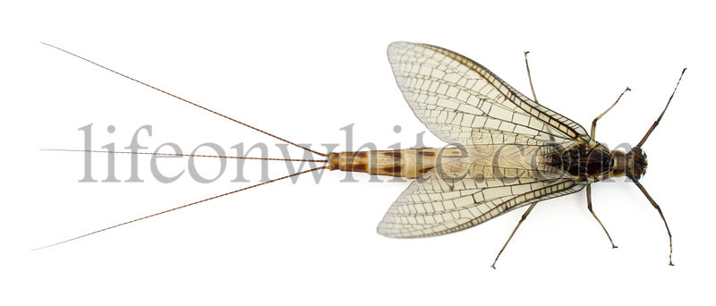 High angle view of Mayfly, Ephemera danica, in front of white background