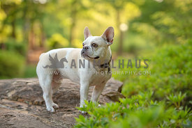 full body frenchie standing on rock looking away
