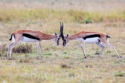 Thomson's Gazelles, bucks squaring up to each other Masai Mara Kenya