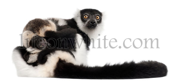 Mother and baby Northern black-and-white ruffed lemur, Varecia variegata subcincta, 7 years old and 2 months old, in front of...