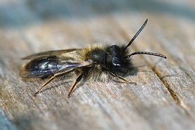 Closeup of a male Clark's miner bee, Andrena clarkella subathing on a pole