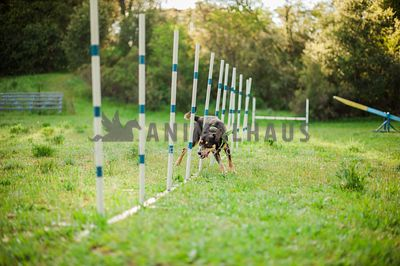 A kelpie doing agility and going through some weave poles
