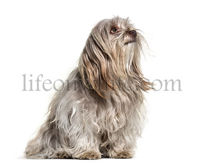 Shih Tzu dog , 1 year old, sitting against white background