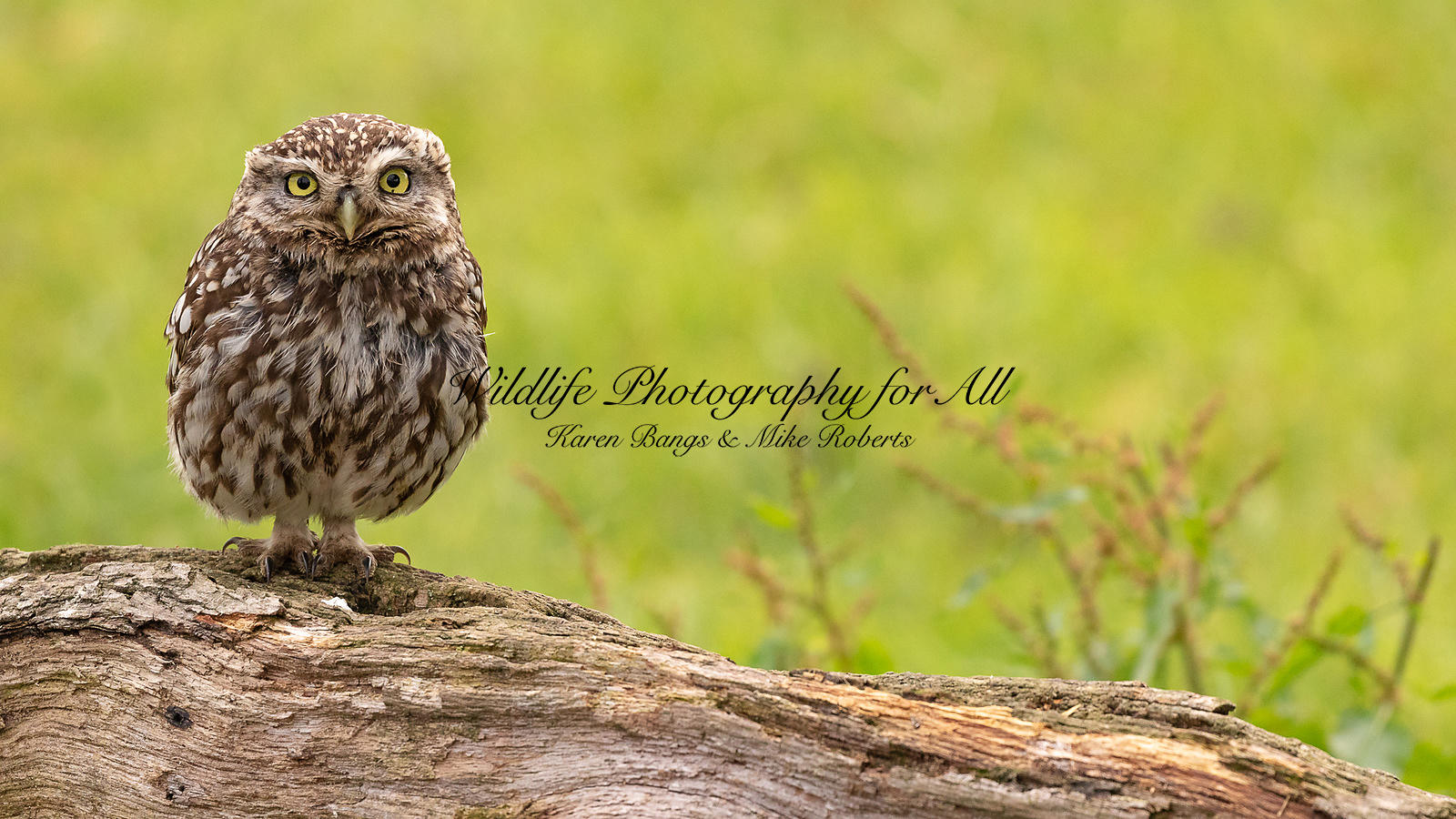 Male Little Owl - Karen Bangs