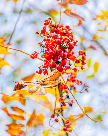 Mountain ash berries in autumn woodland.