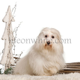 Coton de Tulear, 17 months old, in front of white background