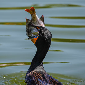 Skarfur_-_Cormorant_eating_fish_in_Florida_-_emm.is-3