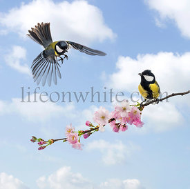 Eurasian blue tit flying to a branch