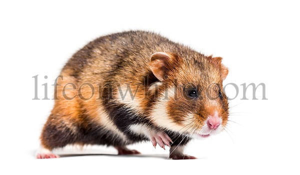 European hamster, Cricetus cricetus, in front of white background