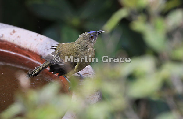 Bathing Bellbird (Anthornis melanura) with a dusting of blue-purple pollen on the face from nectar-feeding, Otago Peninsula, ...