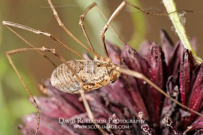 Image - Opiliones, Harvestmen on a Cornflower