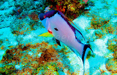 Hogfish Saint-Barthélemy diving