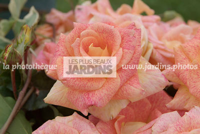 Rosa 'Michel Serrault' (rose)