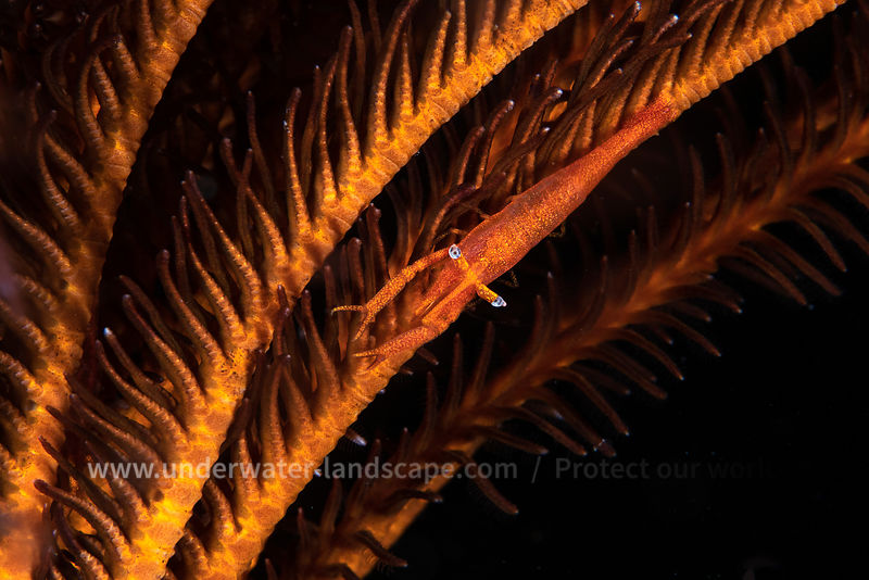 Commensal crinoid shrimp
