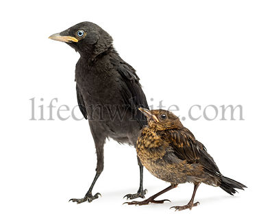 Common Blackbird and Western Jackdaw, isolated on white