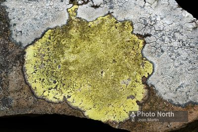LICHEN 35A - Yellow map lichen