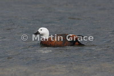Female Paradise Shelduck (Tadorna variegata), Lake Pukaki, Canterbury, South Island, New Zealand