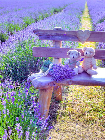 Teddy bears on a bench in a Lavender field