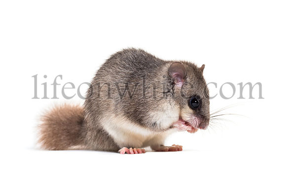 Edible Dormouse or Fat Dormouse, Glis glis, grooming in front of white background