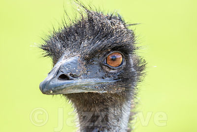 Close up portrait of emu ostrich looking in camera.