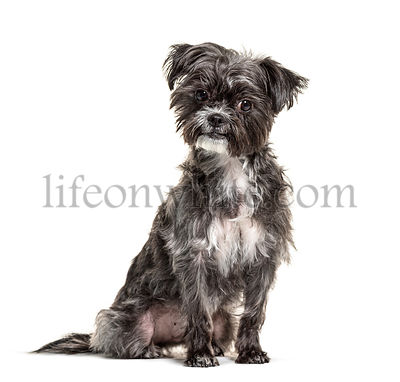 Black and white sitting young Crossbreed dog, isolated on white