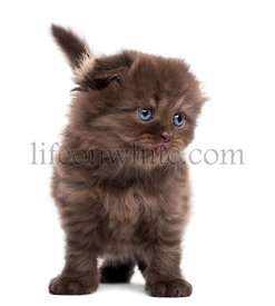 Highland fold kitten standing, facing, isolated on white