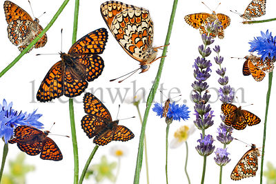 Pastoral composition of Knapweed Fritillary, Melitaea phoebe, on flowers in front of white background