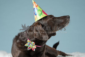 silly dark brown lab mix wearing birthday hat looking away