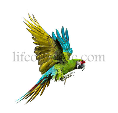 Military macaw, Ara militaris, flying, isolated on white