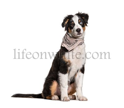 Odd-eyed australian Shepherd wearing a scarf dog