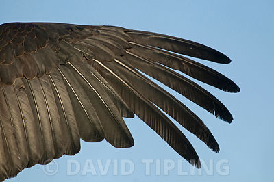 California Condor Gymnogyps californianus wing abstract  (wild) Arizona